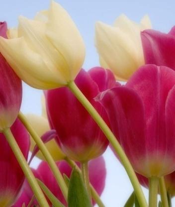 Эта картинка на рабочий стол с тегами.  Вы можете скачать бесплатные картинки тюльпаны.